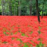 『いつか行きたい日本の名所 巾着田』の画像