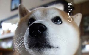 チラリと視線を送る かわいい柴犬