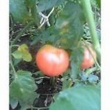 『トマトをがぶり』の画像