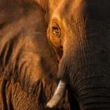 『米国で象牙持ち込み解禁、そして保留』の画像