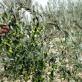 オリーブの木が根付いた小豆島で、その恵みに出会う|井上誠井園 前編