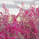 『桜が咲き始めましたね』の画像