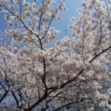 『桜満開🌸』の画像