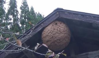 【閲覧注意】超巨大スズメバチの巣を割ってみた結果wwwwwwwwww