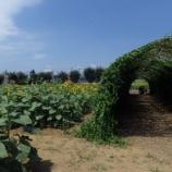 『7月の武蔵村山団地の「向日葵」』の画像
