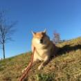 天高く 柴犬ハゲる 秋晴れに。