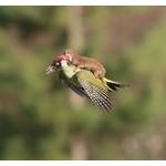【画像】キツツキが背中にイタチを乗せて飛行する事案が発生…イタチに襲われた状態で飛んだらしい