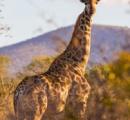 【画像】アフリカで筋肉ムキムキのキリンが発見される