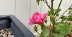 *バラのツボミに芋虫侵入からの開花|我慢の限界