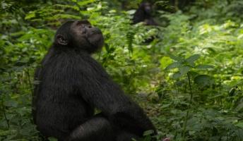 彡(゚)(゚)「お、チンパンジーが売られとるやんけ、買ったろ!」