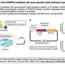 SpyCas9の活性を細胞周期S/G2/M期に限定し、HDRを介した精密編集を実現