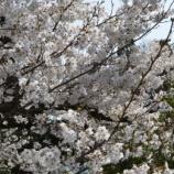 『'2019お花見🌸~梅小路公園(京都)』の画像