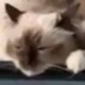 【ネコ】 飼い主が旅行に行くようだ。私たちも連れてって! → 4匹の猫はこうなった…