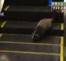 エスカレーターを上ったり下りたり…東銀座駅でハクビシンか 駅員が捕獲