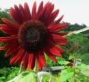 真っ赤なヒマワリが街で話題に 沖縄