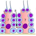 ヒトの全細胞