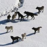 『米国ワシントン州で貴重なオオカミ駆除計画』の画像