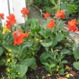 『赤い花 カンナ』の画像