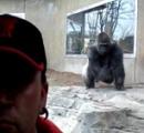 【動画】動物園のゴリラが突然ブチ切れて 胸叩きながらジャンピングアタック これは殺されるわ確実に