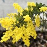 『スナップショット「凱風快晴」(9)ミモザアカシアの花』の画像