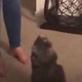 ネコの頭上に飼い主が手をかざしてみる。するとどうなるの? → 猫はこうなる…
