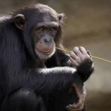 『全てにおいてイケメンすぎるチンパンジーの動画』の画像