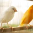 【米津玄師】「カナリヤ」歌詞の意味&解釈 結婚を前提としたカップルをつがいに重ねて…狭い鳥かごから変化の世界へ。