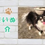 『【動画】保護犬紹介|チワワのリラちゃん♀ とってもおとなしくてキレイ好き♪』の画像