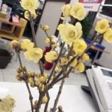 『蝋梅の香りがショールームに広がりました』の画像