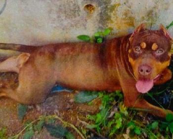 民家から逃げた闘犬種ピットブルがヤバイ・・・狂犬病の予防接種もせず・・・(画像あり) 沖縄・うるま市