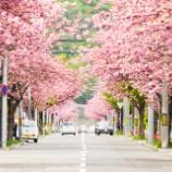 『桜の時期Cherry blossom season.』の画像