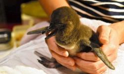 マゼランペンギンの赤ちゃん、6年連続で誕生 すみだ水族館