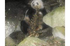 【大熊猫】 パンダ「笹ばっかりで腹膨れる訳無いだろ。バカか?」肉を食べる所をついに目撃される※写真アリ
