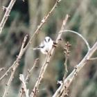 『柄長(エナガ) ~庭に来る野鳥~』の画像