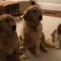 3匹のイヌが並んでいた。お母さんが聞いてみる。このイタズラをしたのは誰? → 犬はこうなる…