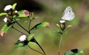 開花したオケラとモンシロチョウ
