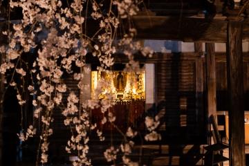 専称寺のしだれ桜【2018】