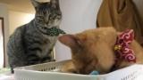 ワイ、2匹目の猫を飼ってしまう(※画像あり)
