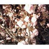 『夜桜は』の画像