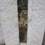 『黄色い可愛らしい花~ヒュウガミズキ』の画像