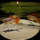 『LAOWA7.5mmF2による金魚 2019/11/23』の画像