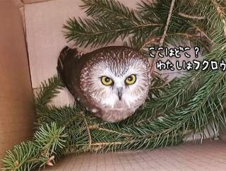 フクロウが知らぬ間に270キロメートル移動していた件。クリスマス用の大木にひっついていた【追記あり】