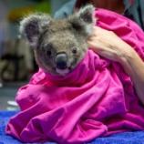 『オーストラリアの大火事を生き延びたコアラたち』の画像