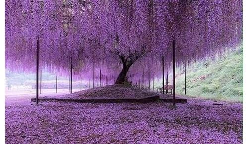日本の藤の花があまりにも美しいと海外で話題に