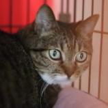 『【里親募集中】日本猫のキジトラ』の画像