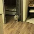 【ネコ】 友人宅を訪れると猫がお出迎えしてくれた。いらっしゃいませ → 猫はこうなる…