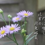 『関東嫁菜』の画像