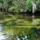 『河のなかに桜並木 楽園から逃げてきた河「キャノ・クリスタレス」』の画像