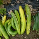 『夏の収穫レポート ゴーヤのレシピ付』の画像