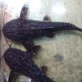 熱帯魚入荷